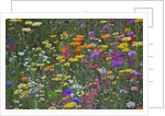 Colorful wildflower mixture by Corbis