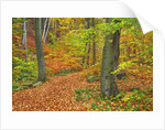 Hiking trail in beech forest in autumn by Corbis