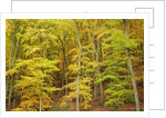 Beech forest in autumn by Corbis