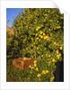 Anjou pears by Corbis