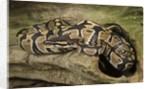 Ball Python by Corbis