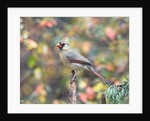 Northern Cardinal by Corbis