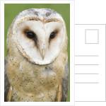 Barn Owl close-up by Corbis