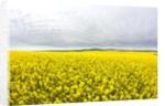 Canola Field in Full Fresh Bloom by Corbis