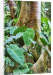Philodendrons Growing in Forest by Corbis