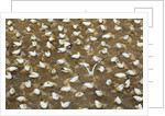 Breeding colony northern gannets at Muriwai Beach by Corbis