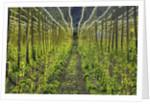 Hop plantation by Corbis