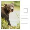 brown bear in grass by Corbis