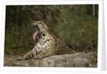 jaguar yawning by Corbis