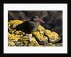 magellanic oystercatcher by Corbis