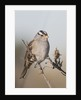 White-Crowned Sparrow by Corbis