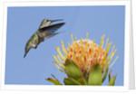 Anna's Hummingbird feeding by Corbis
