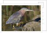 Green Heron hunting by Corbis