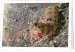 Bumptail Mantis Shrimp by Corbis