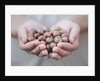 Man in khaki t-shirt holds hazelnuts in his palms by Corbis