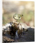Ruby-crowned Kinglet by Corbis