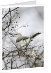 Northern Mockingbird by Corbis