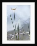 Dragonfly on grass stem by Corbis
