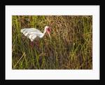 American White Ibis by Corbis