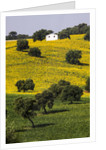 Small White House in Hillside in Sunflower and Oak Tree by Corbis