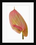 Flamingo flower by Corbis