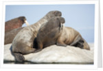 Walrus Herd on Ice, Hudson Bay, Nunavut, Canada by Corbis