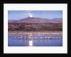 Sandhill Cranes and Full Moon, Bosque del Apache, New Mexico by Corbis
