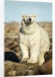 Polar Bear, Hudson Bay, Manitoba, Canada by Corbis