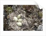 Eider Duck Nest, Nunavut, Canada by Corbis