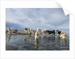 Sled Dogs, Nunavut, Canada by Corbis