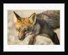 Red Fox, Gillam, Manitoba, Canada by Corbis