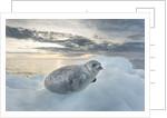 Ringed Seal Pup on Iceberg, Nunavut Territory, Canada by Corbis