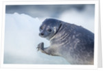 Ringed Seal Pup, Nunavut, Canada by Corbis