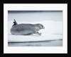 Ringed Seal on Iceberg, Nunavut, Canada by Corbis