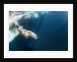 Underwater Walrus, Hudson Bay, Nunavut, Canada by Corbis