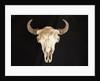 Buffalo Skull by Corbis