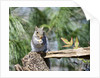 Gray Squirrel, McLeansville, North Carolina, USA by Corbis