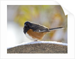 Rufous Towhee in winter, McLeansville, North Carolina, USA by Corbis