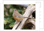 Rufous Towhee, McLeansville, North Carolina, USA by Corbis
