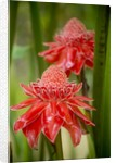 Torch Ginger, Laos by Corbis