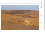 A wild camel walking on sand dunes. by Corbis