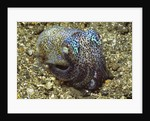 Berry's Bobtail Squid by Corbis
