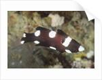Juvenile Axilspot Hogfish by Corbis