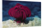 Robusr Feather Star by Corbis
