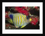 Regal Angelfish by Corbis