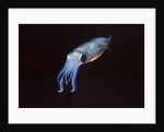 Bigfin Reef Squid by Corbis