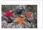 Bat Stars with Purple Sea Urchins by Corbis