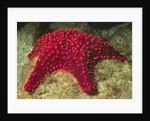 Panamic Cushion Star by Corbis