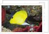 Longnose Butterflyfish by Corbis
