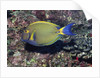 Eyestripe Surgeonfish by Corbis